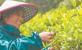 干坑红茶与日月潭红茶相搭配 探索两岸红茶业融合发展新路