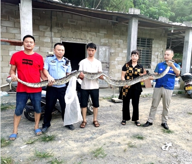 5米巨蟒吞食20多斤黑山羊 专业人员将其生擒
