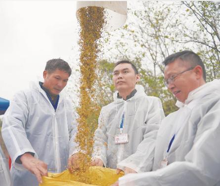 研发团队再刷纪录 杂交水稻双季亩生产1603.9公斤