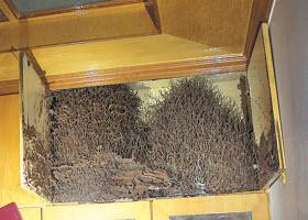 泉州无人居住书房惊现巨型白蚁巢
